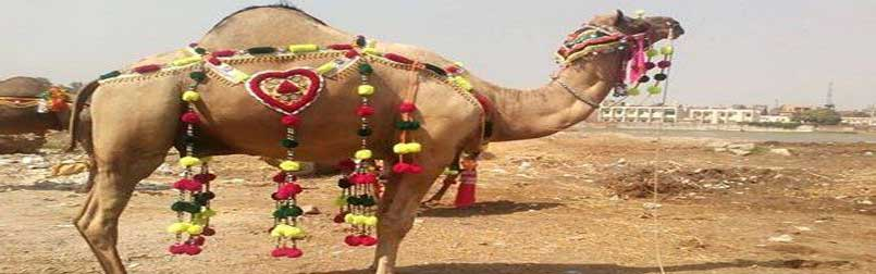 Buy Camel for Qurbani